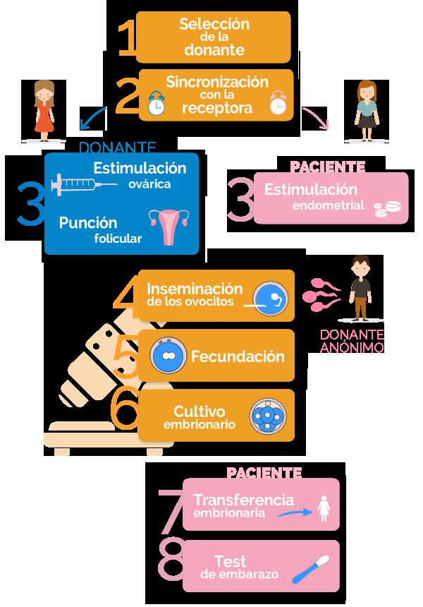 fases de la fecundación in vitro con ovodonación y semen de donantes anónimos
